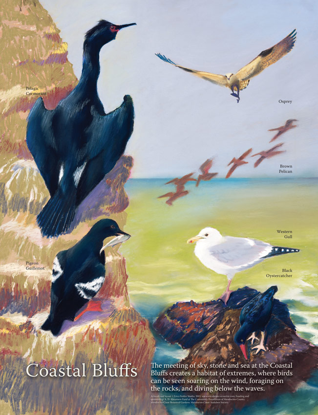 The hiking trail along the bluffs at the Mendocino Coast Botanical Gardens takes you to the interpretive panel depicting pastel bird illustrations: pelagic cormorant, osprey, brown pelicans, pigeon guillemot, western gull and a black oystercatcher.