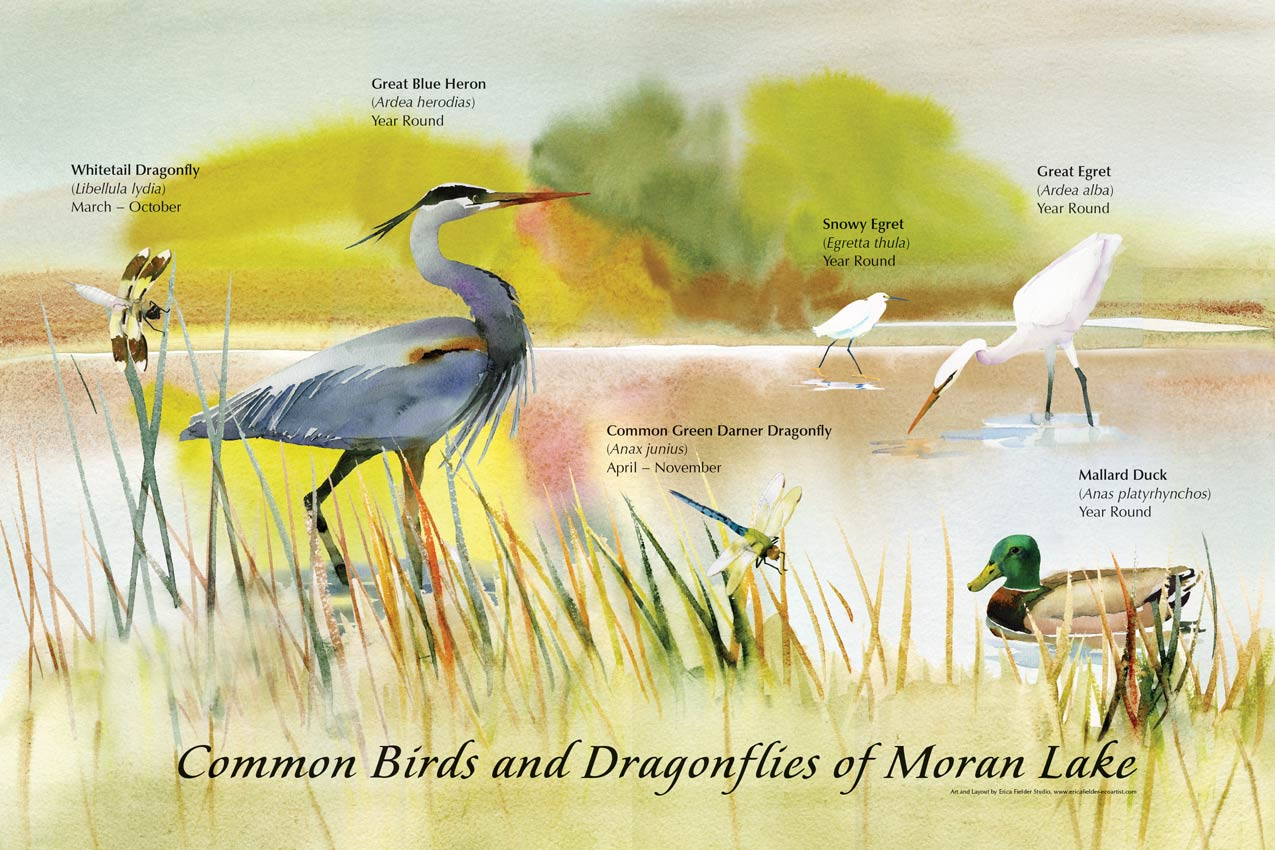 Watercolor paintings on this display depict common birds and dragonflies of Mora Lake, Santa Cruz County, California: great blue heron, snowy egret, great egret, mallard duck, whitetail dragonfly, common green darner dragonfly.