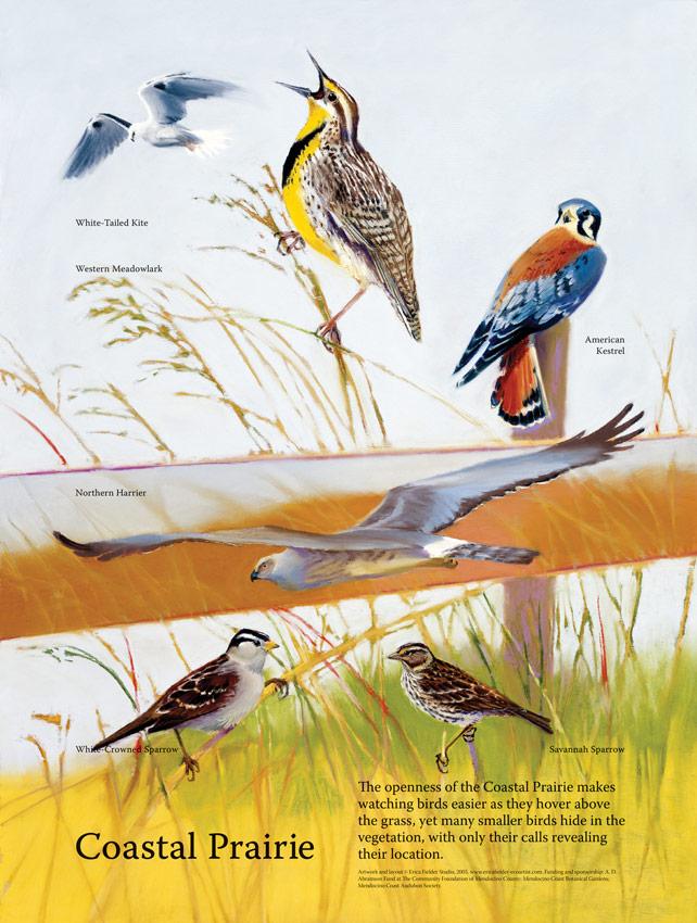 The pastel painting illustrates coastal prairie habitat bird species: white-tailed kite, western meadowlark, American kestrel, northern harrier, white-crowned sparrow, Savannah sparrow.