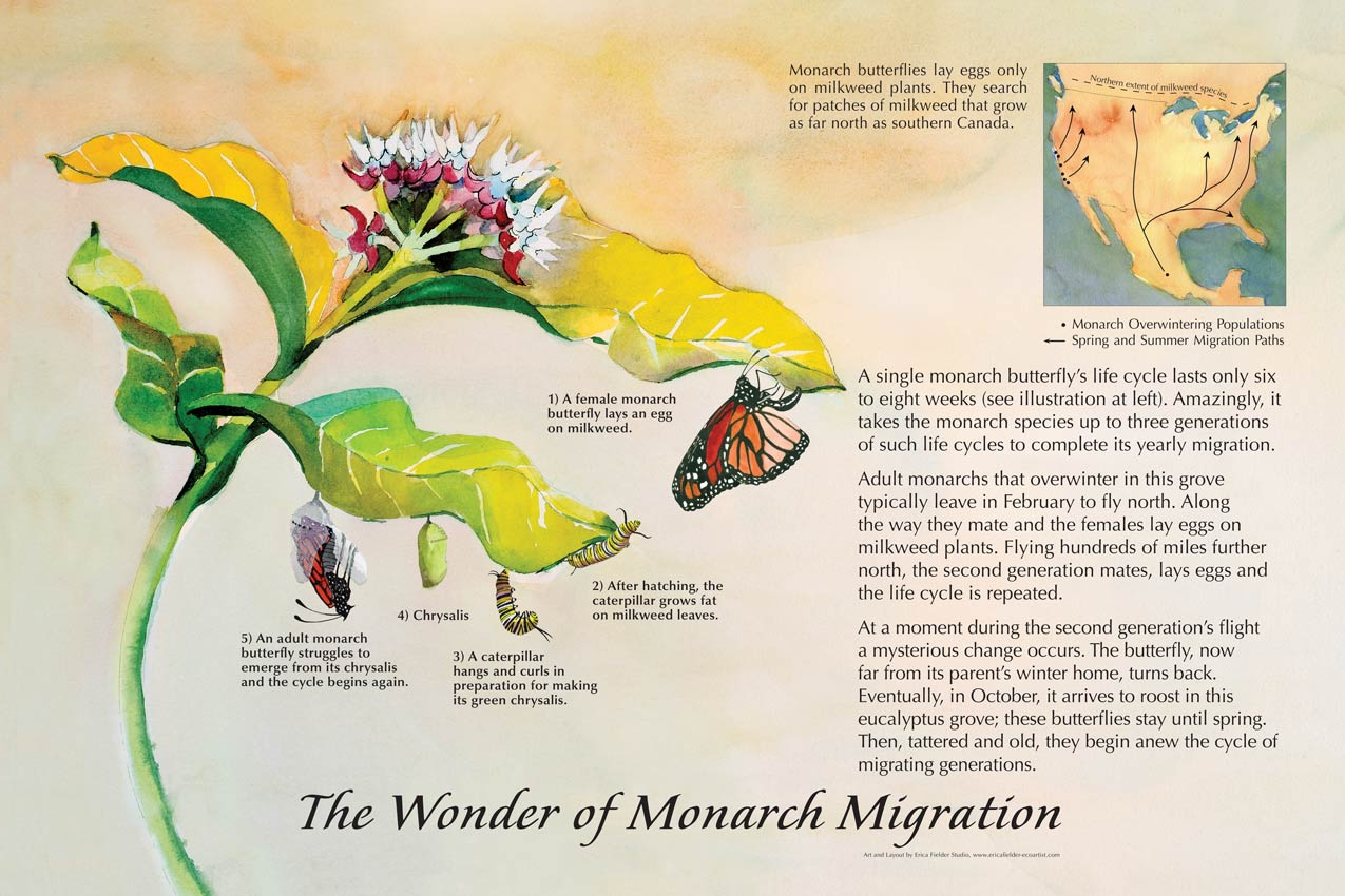 This educational trailside display explains, with a map and watercolor paintings, how a single monarch butterfly's life cycle lasts only six to eight weeks. Amazingly, it takes the monarch species up to three generations of such life cycles to complete its yearly migration.