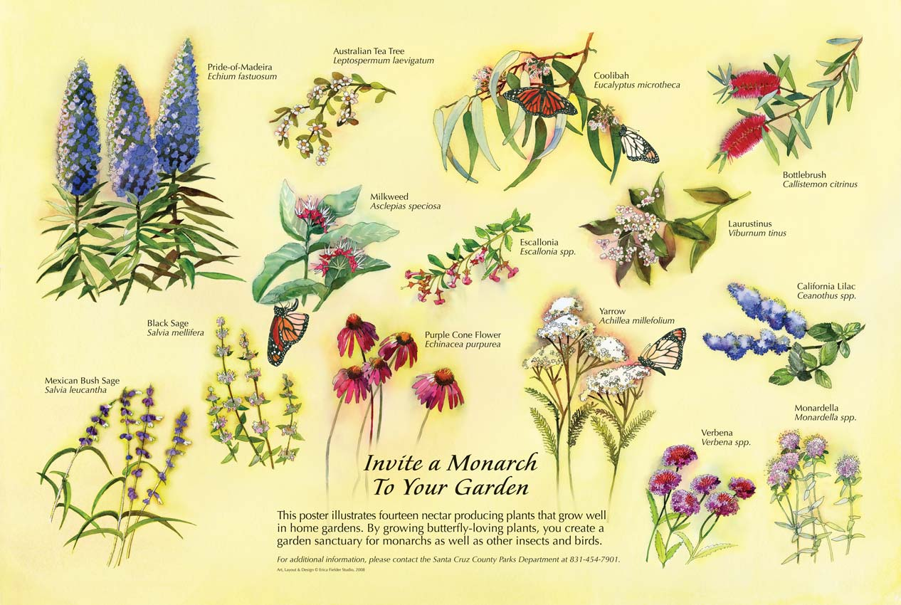 This interpretive panel watercolor painting depicts fourteen common nectar plants that attract monarch butterflies: Pride-of-Madeira, Australian Tea Tree, Coolibah, Bottlebrush, Milkweed, Escallonia, Laurustinus, Black Sage, Mexican Bush Sage, Purple Cone Flower, Yarrow, California Lilac, Verbena, Monardella.