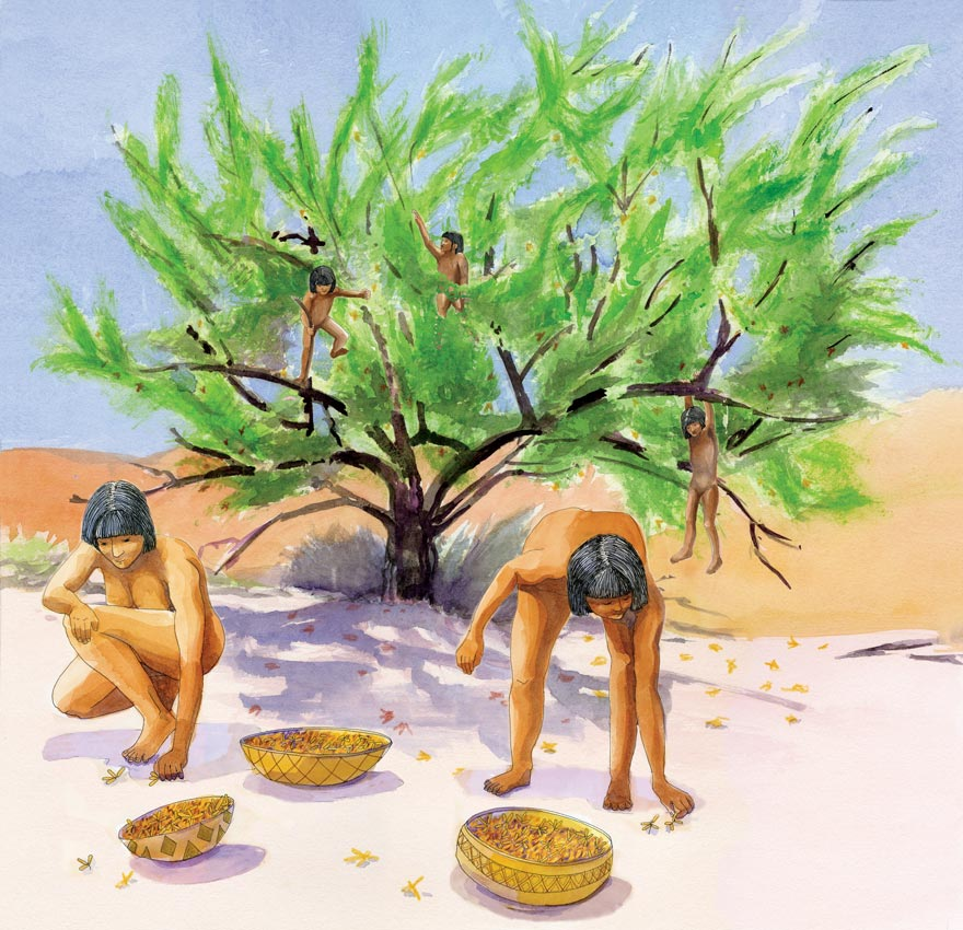 This watercolor illustration depicts Cahuilla women collecting mesquite beans while Cahuilla children climb the mesquite tree. The watercolor illustration was created for an interpretive panel by Acorn Group for Anza Borrego Desert State Park.